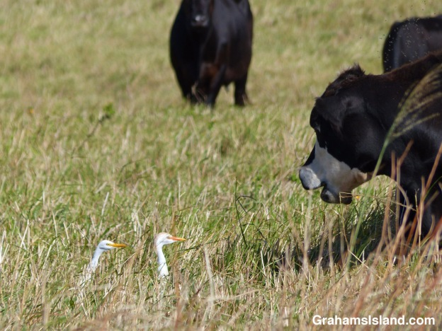 A cow chats with two cattle egrets.