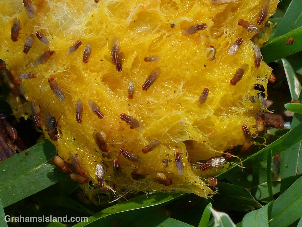 Fruit Flies feed on a mango