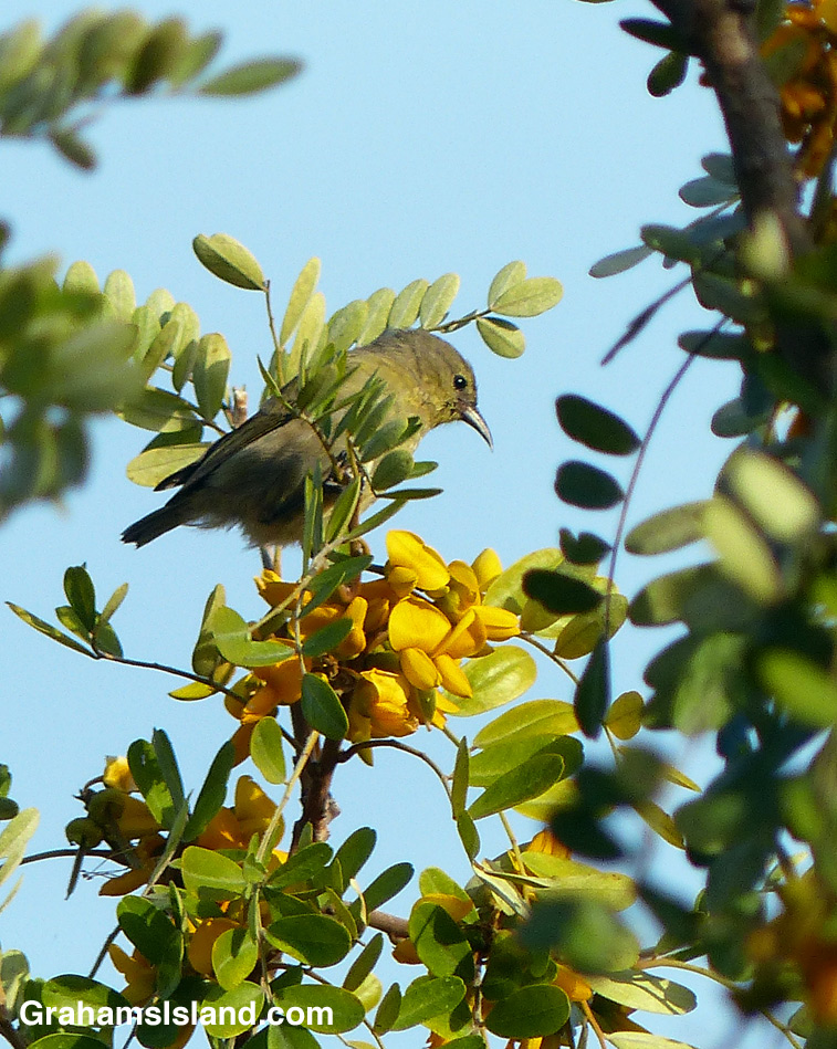 A Hawaii Amakihi about to feed on mamane flowers.