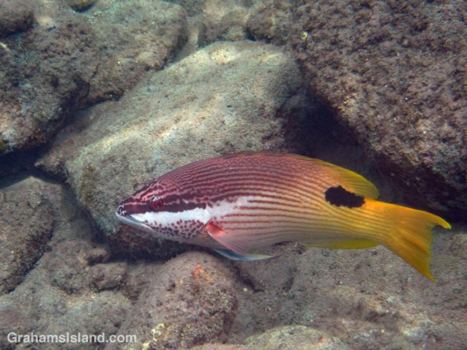 A Hawaiian hogfish swims in the waters off the Big Island of Hawaii