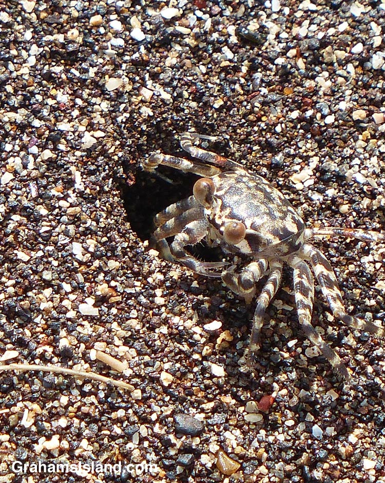 A Pallid Ghost Crab waits by the entrance ot its burrow.