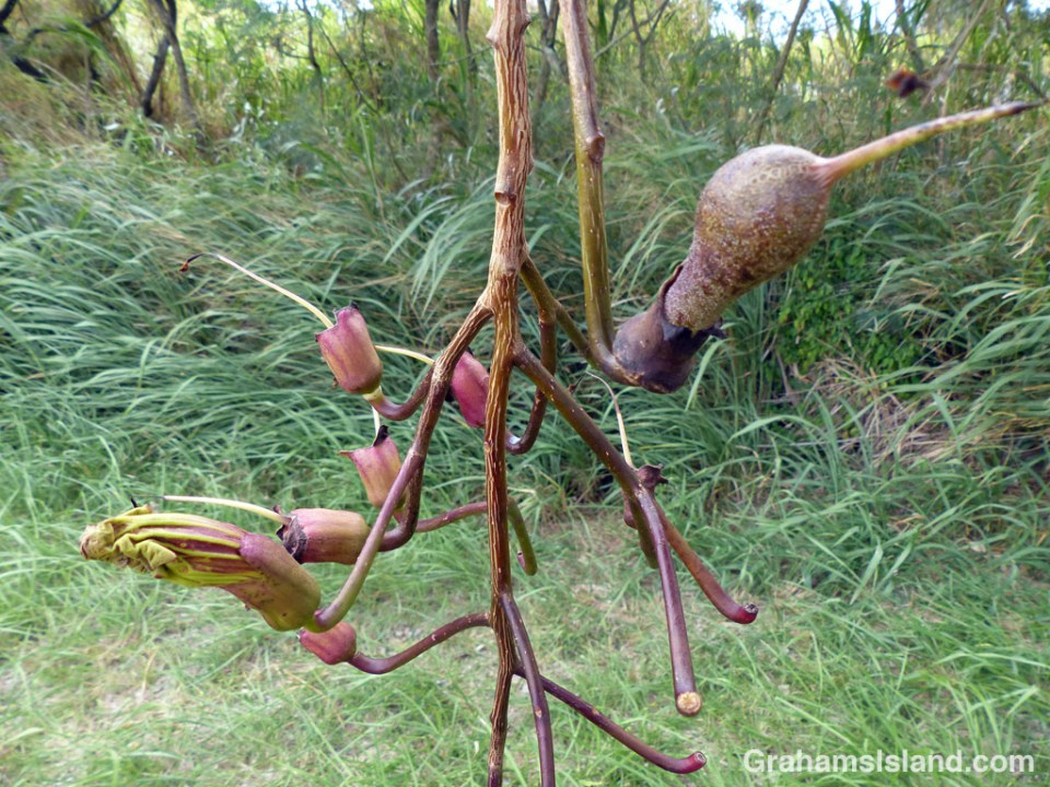 Flowers form and become fruit on a sausage tree (Kigelia Africana) on the Big Island of Hawaii
