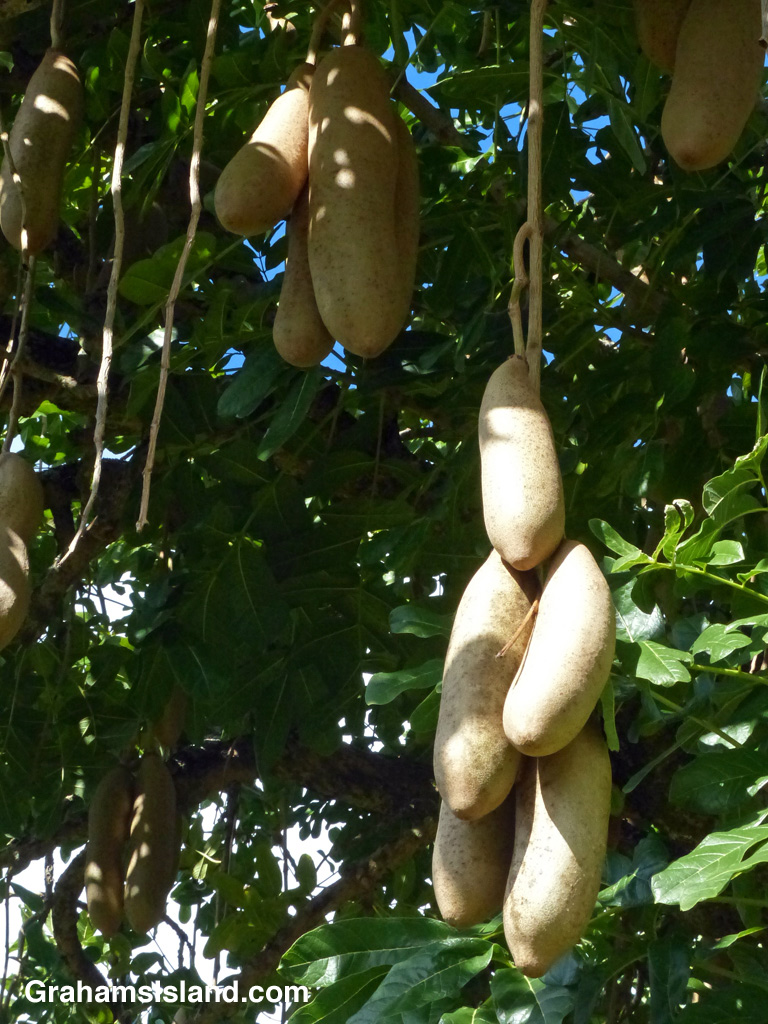 The fruits of a sausage tree (Kigelia Africana) on the Big Island of Hawaii