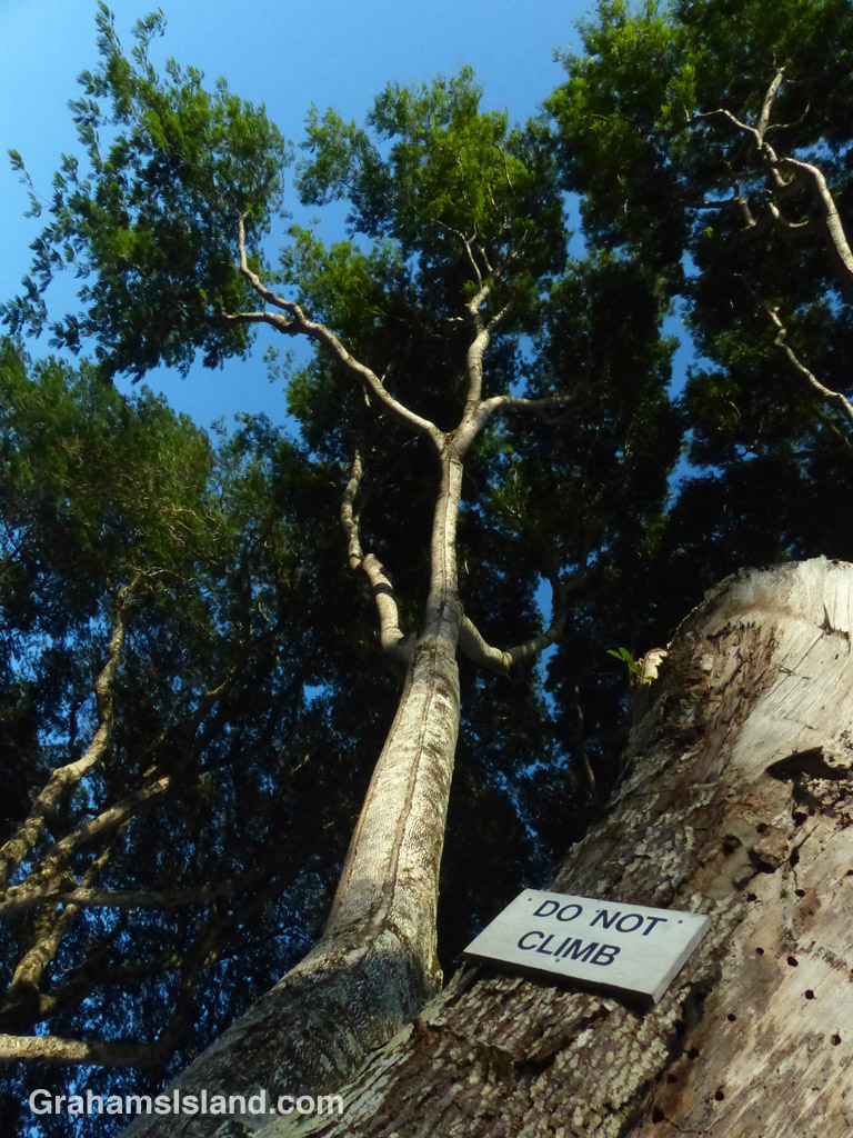 A sign on a mimosa tree forbids climbing