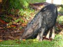 A wild pig snacks on fallen mangoes