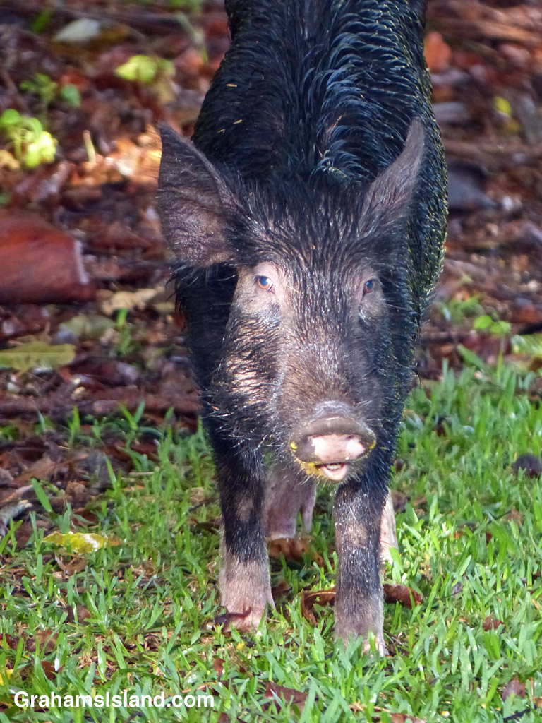 A wild pig that has been eating fallen mangoes
