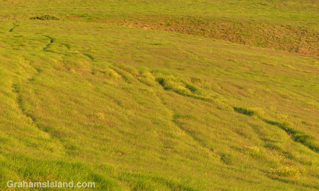 Cattle trails wander through pastureland on Kohala Mountain.
