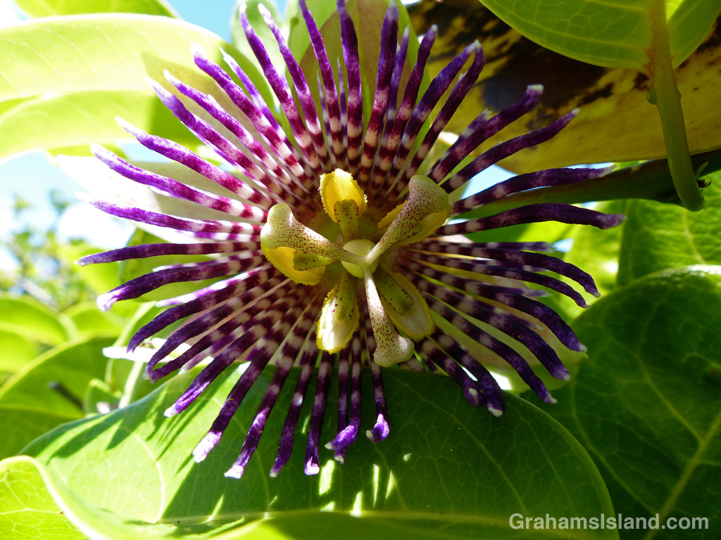 A fragrant passion flower in bloom