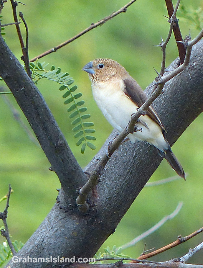 An African Silverbill perches on a branch
