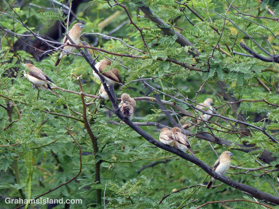 African Silverbills gather on a branch