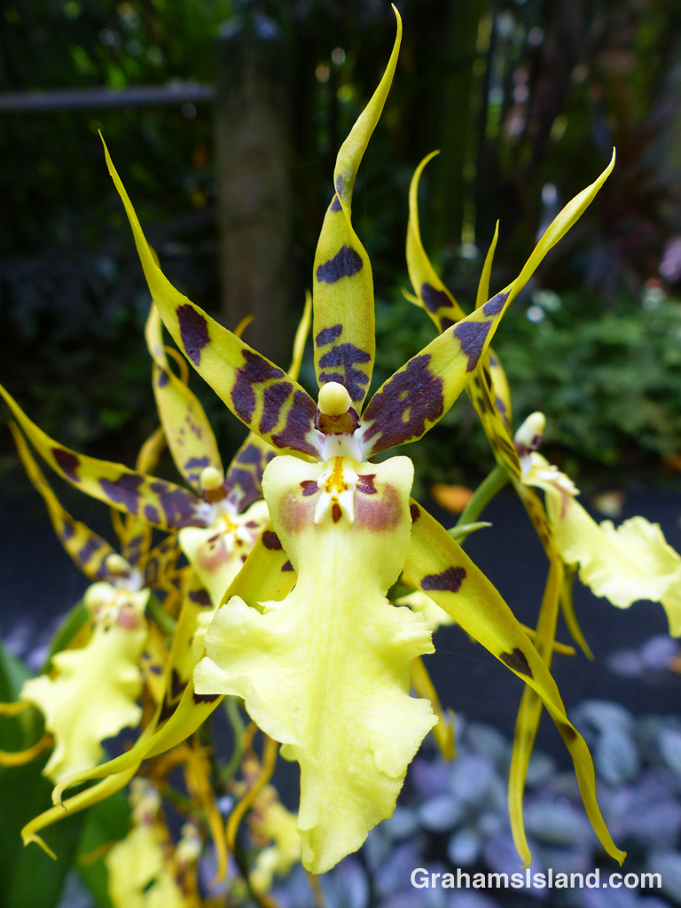 The flowers of an Aliceara Pacific Nova orchid