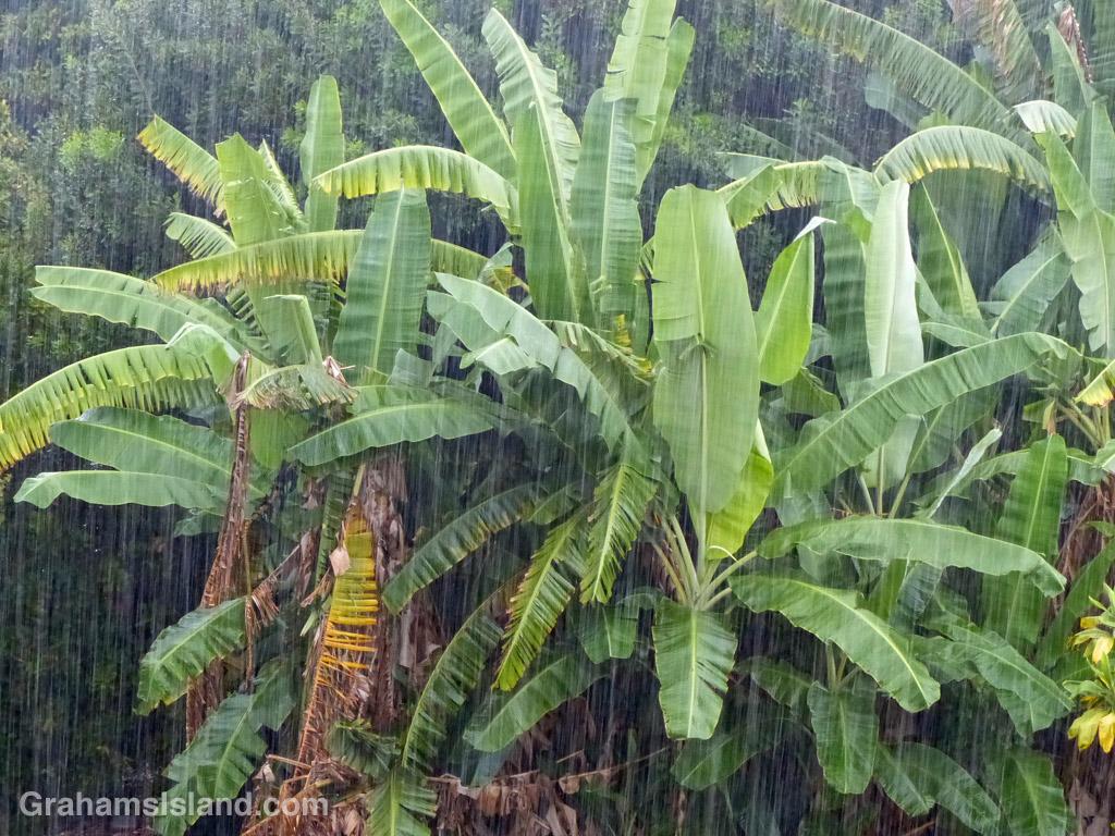 Banana plants thrive in heavy tropical rain.