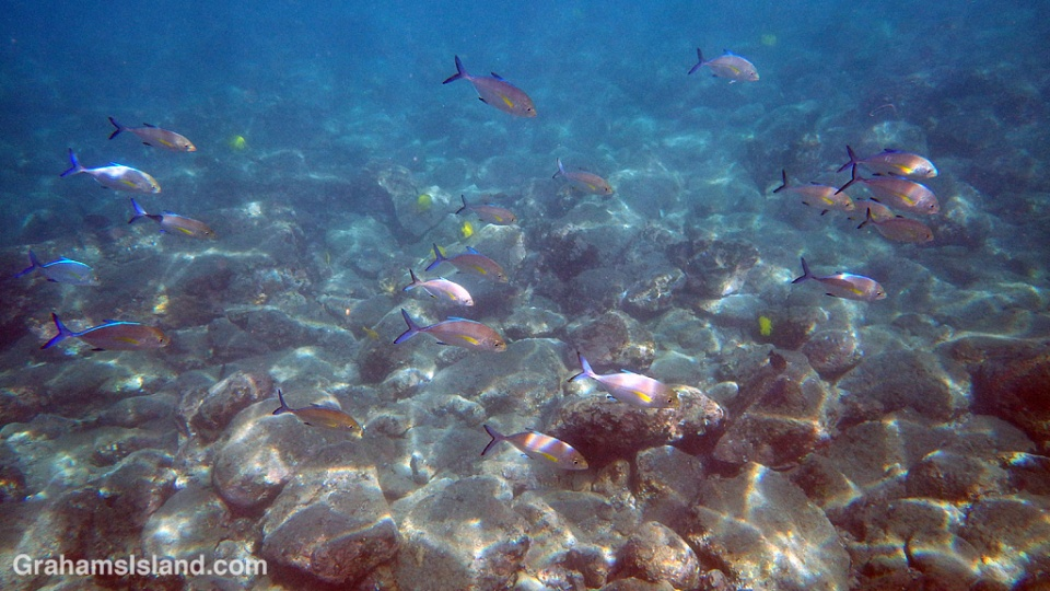 A shoal of young bluefin trevallies roams the shallows.