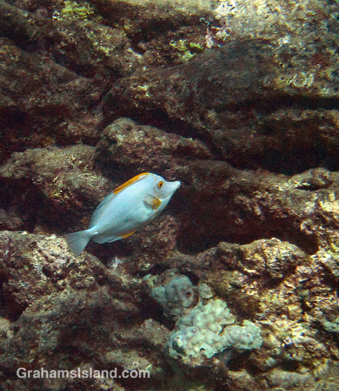 A white variant of the usually yellow tang.