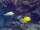 A yellow tang is joined by a white variant.
