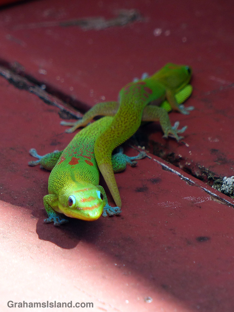 A gold dust day gecko slithers over a larger gecko.