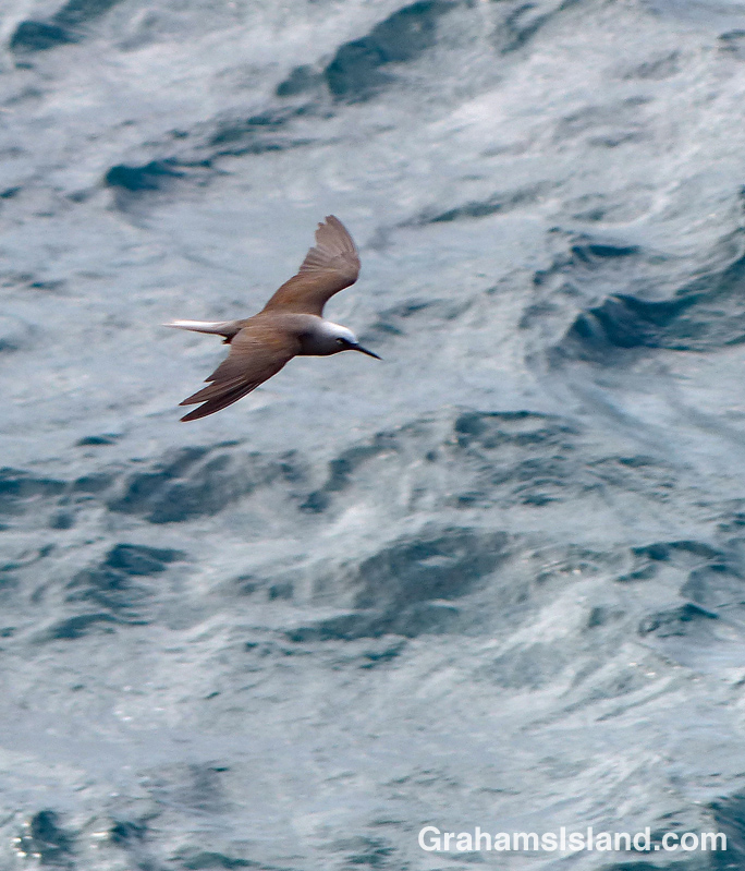 A Hawaiian noddy flies over the ocean.
