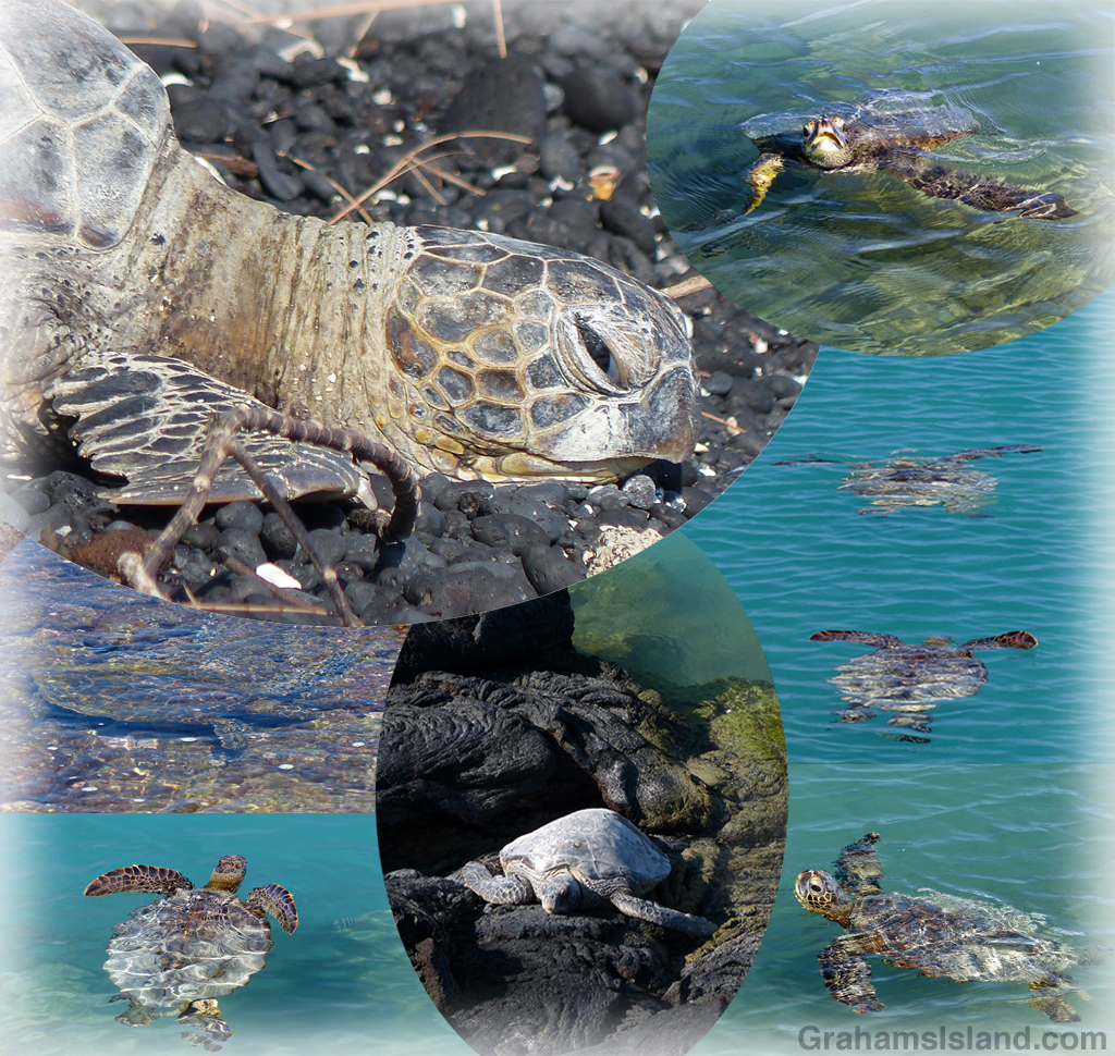 A collage of turtles photographed in Kiholo Bay