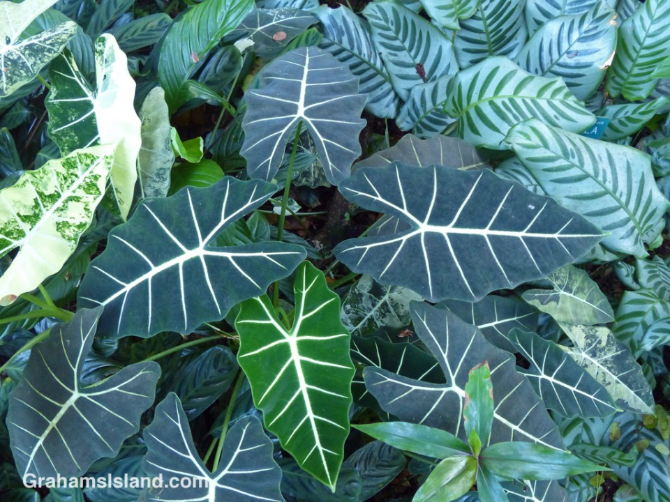 Alocasia micholitziana and Calathea bella