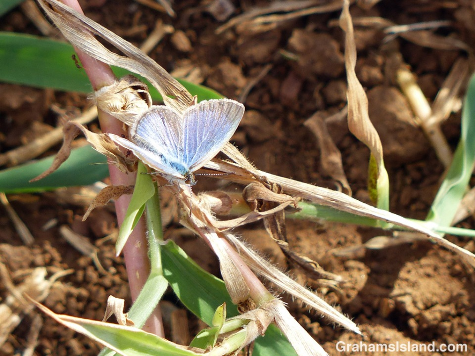 A lesser grass blue butterfly spreads its wings before taking to the air again.