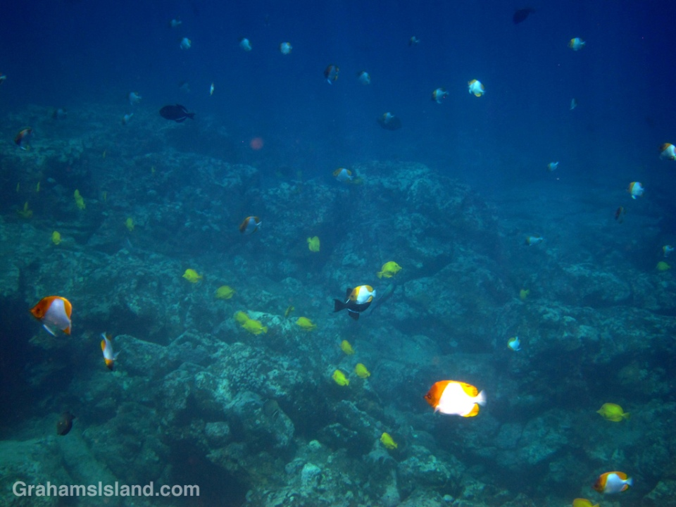 Pyramid Butterflyfish congregate with other reef fish