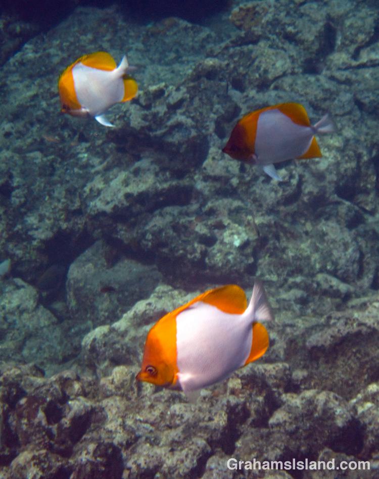 A trio of Pyramid Butterflyfish swim off the Big Island of Hawaii