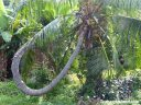 A palm tree with a twisted trunk.