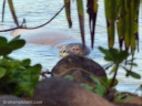 A Hawaiian monk seal swims in a a bay