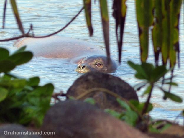A Hawaiian monk seal swims in a a bay