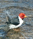 A yellow-billed cardinal takes its morning bath.