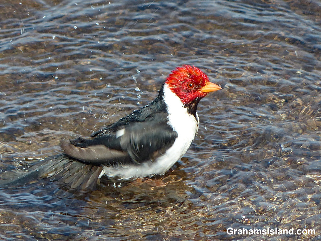 A yellow-billed cardinal takes its morning bath.
