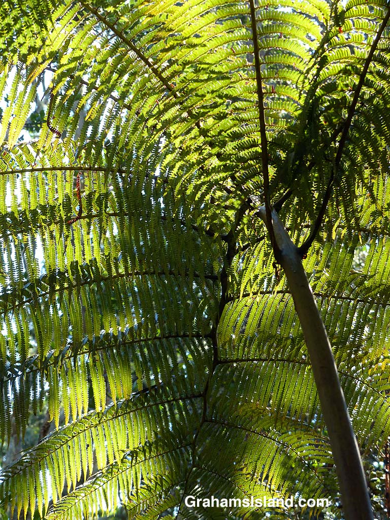 Looking up at light and shadows playing on a Hapu'u fern.