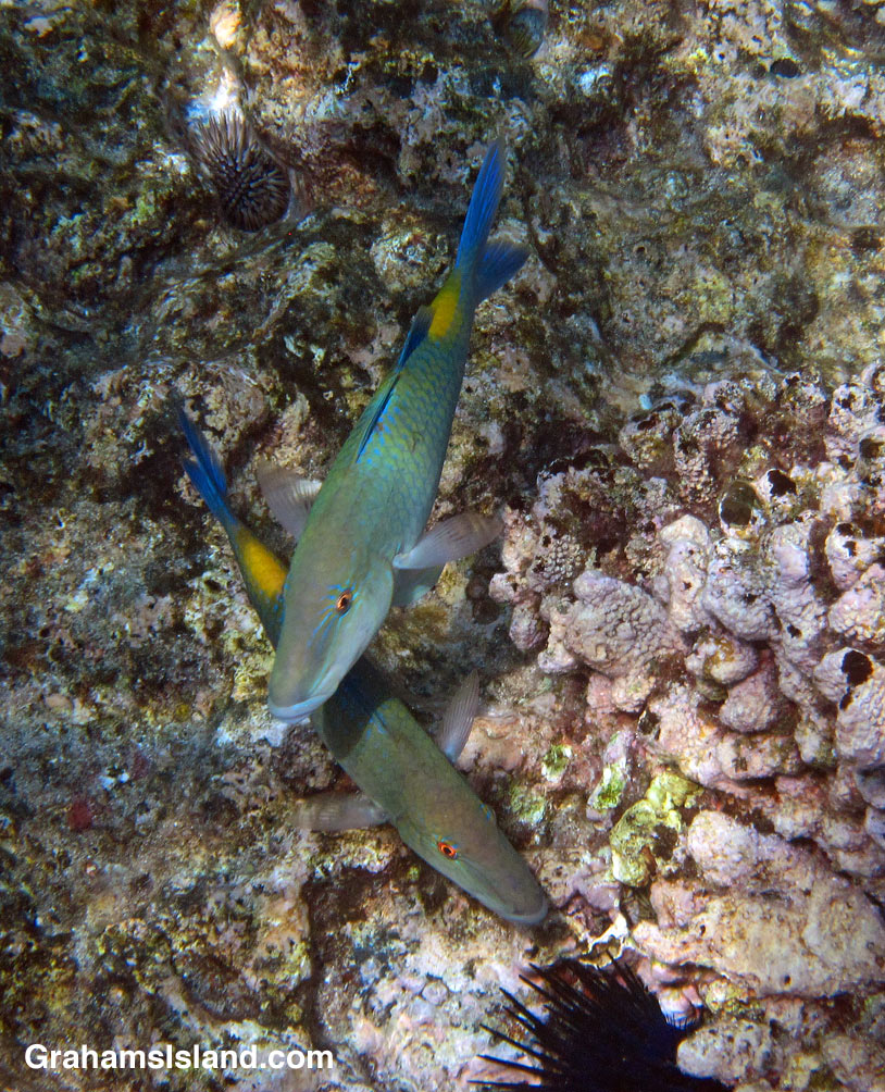 Blue goatfish are easy to identify with a good deal of blue on their bodies and a yellow patch in front of the tail.