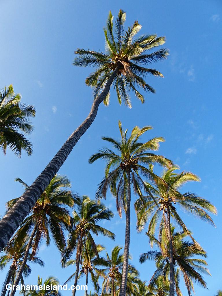 Coconut palms stretch upward to the blue Hawaiian sky.
