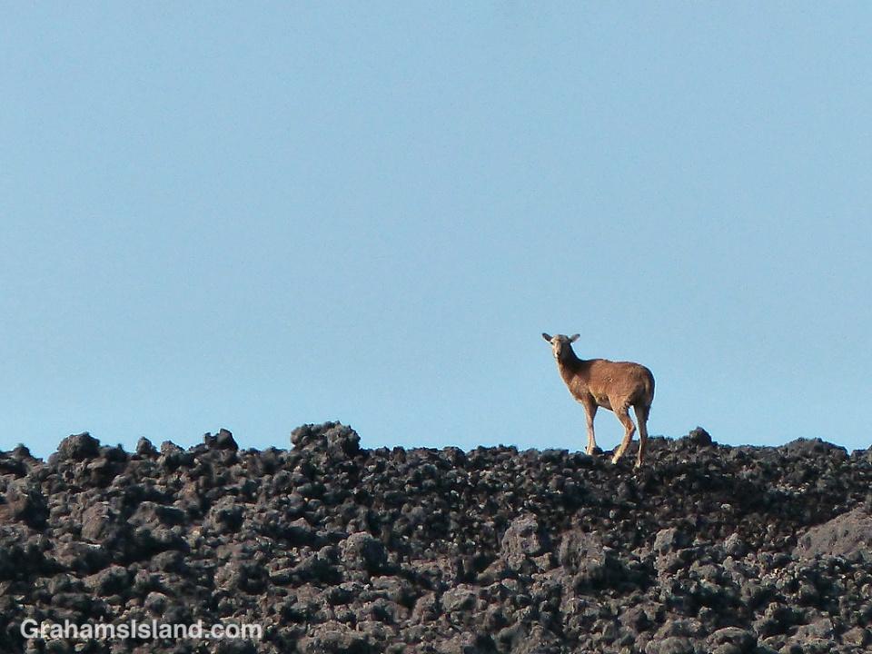 A goat scrambles over the lava alongside the Pu'u O'o trail.