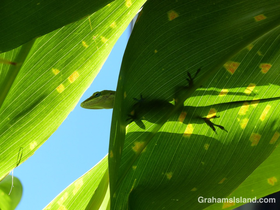 A green anole surveys the scene from a ti leaf.