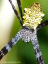 A female Hawaiian garden spider shines like a jewel.