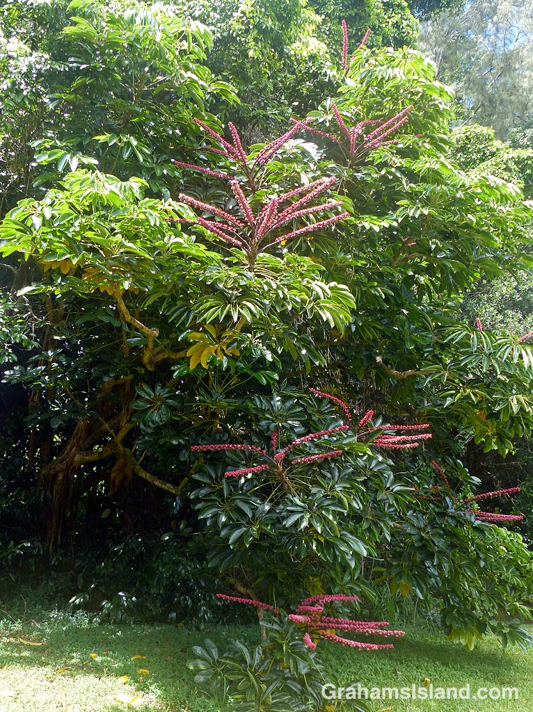 The octopus tree (Schefflera actinophylla) is also known as the he'e tree in Hawaii.