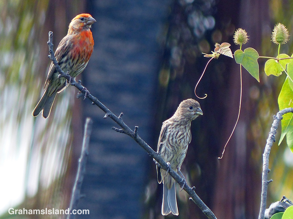 A pair of house finches sits on a branch on the Big Island of Hawaii.