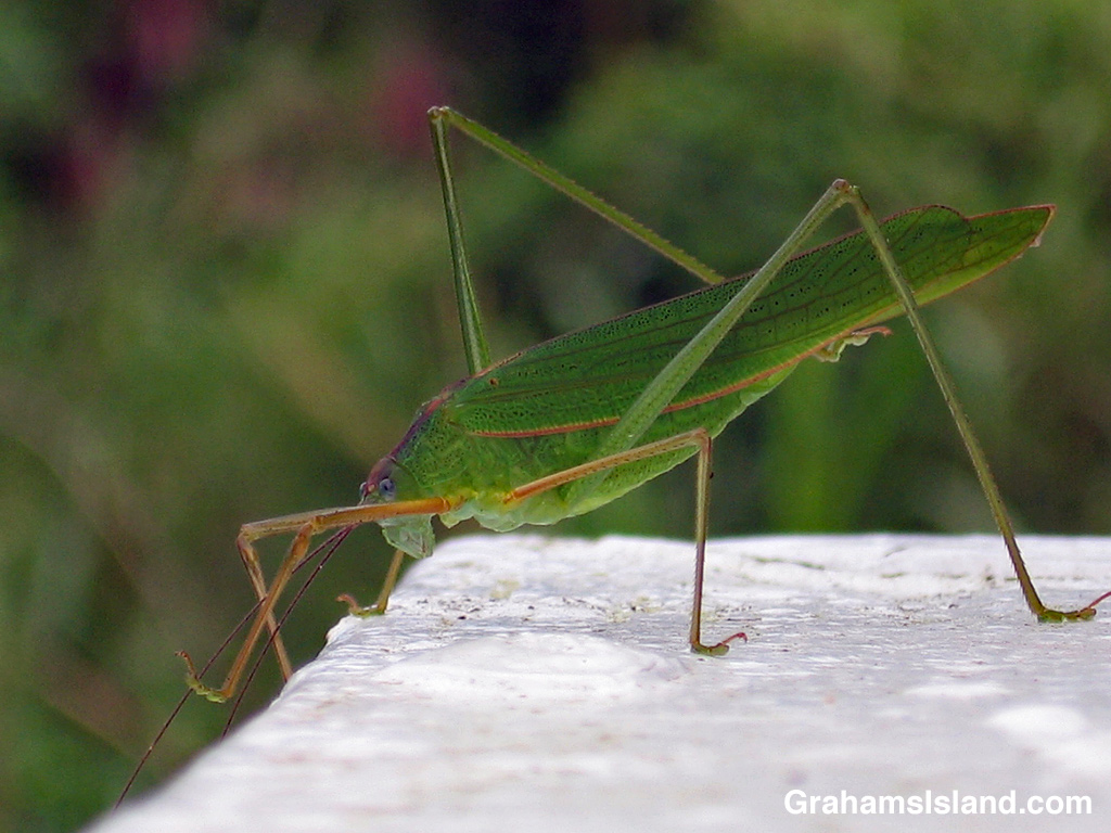 A katydid waits on the corner of a lanai.