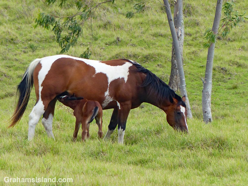 This mare and her foal were among several horses in a pasture alongside Old Saddle Road.
