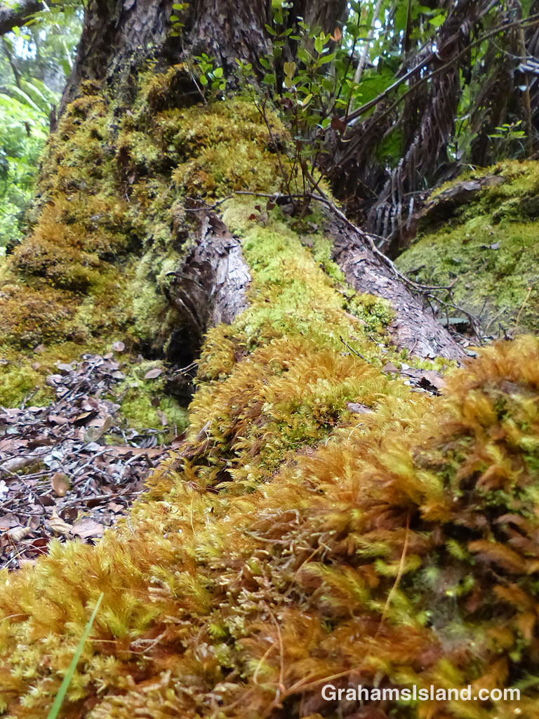 The base of a gnarly old ohia tree is covered in a soft coating of moss.