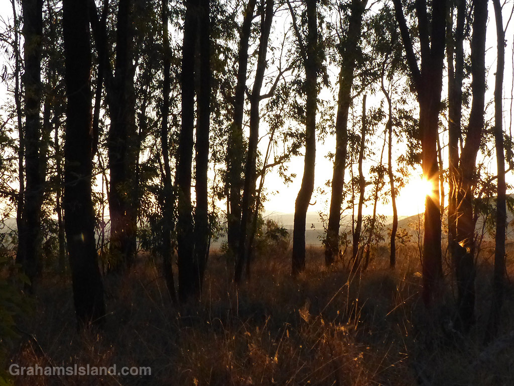 A stand of trees, off Old Saddle Road, is silhouetted by early morning sunlight.