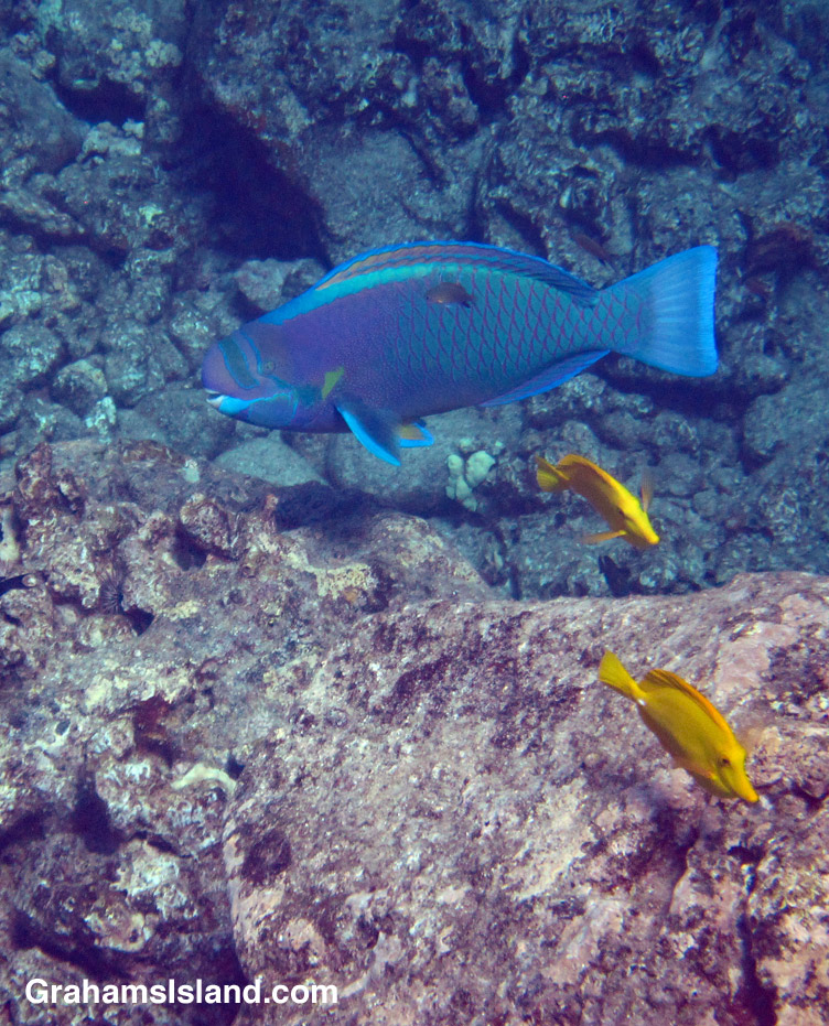 A spectacled parrotfish catches the sunlight.