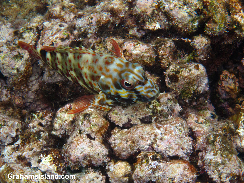 A stocky hawkfish in the waters off the Big Island of Hawaii.