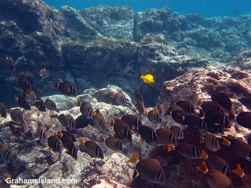 Whitebar surgeonfish swim in the waters off the Big Island of Hawaii.