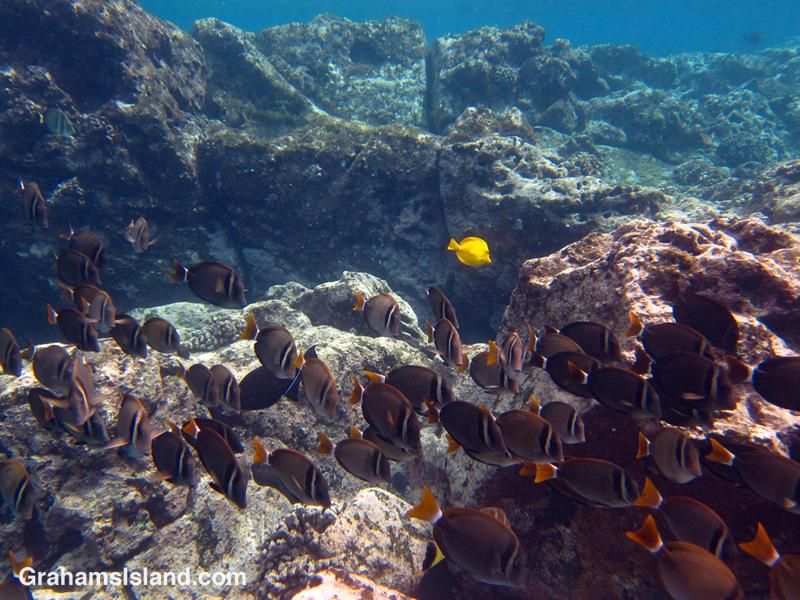Whitebar surgeonfish swim in the waters off the Big Island of Hawaii.