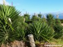 A yucca plant blooms.
