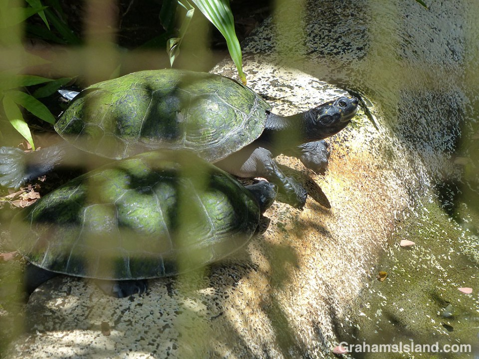 This pair of yellow-spotted Amazon river turtles were waiting for something at Pana'ewa Rainforest Zoo & Gardens