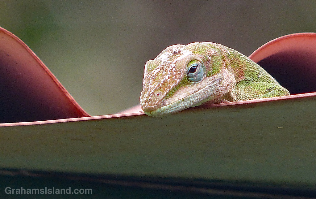 A green anole surveys his territory from the edge of a roof.